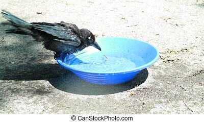 young Black crow take a bath. Corvus corone. - Black crow...