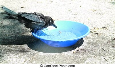 young Black crow take a bath. Corvus corone.