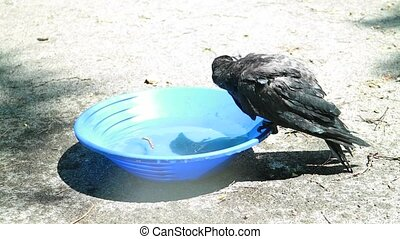 young Black crow take a bath. Corvus corone. with Audio