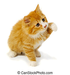 Small kitten - A sweet small kitten is sitting on a white...
