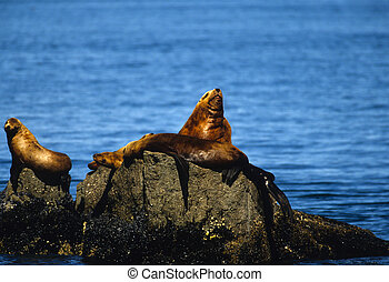 Stellar Sea Lions - a group of stellar sea lions on a rock...