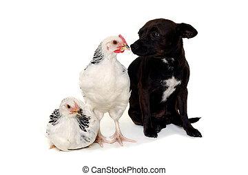 perrito, perro, Pollos
