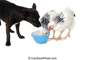 perrito, perro, pollo, comida