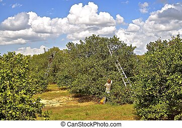 Orange pickers on ladders - Ladders in an orchard assist...