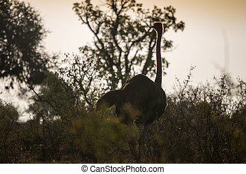 Ostrich on african savanna, Kenya - Ostrich on african...