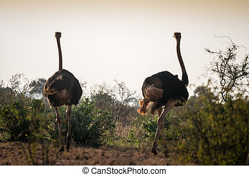 Ostriches on african savanna, Kenya - Ostriches on african...