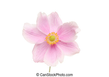 Anemone flower - Anemone, ranunculaceae, flower isolated on...