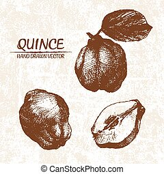 Digital vector detailed quince hand drawn retro illustration...