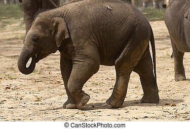 A young Asian elephant - photo of an Asian elephant walking...