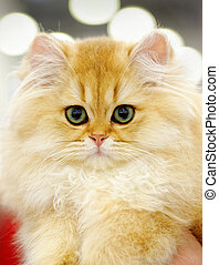 Very young red fluffy cat - Animals: very young red fluffy...