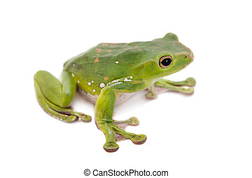 Giant Denny's whipping frog isolated on white - Giant...