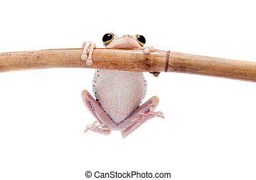 calcaratus, rana, árbol,  troschel's,  hypsiboas, blanco