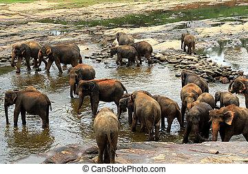 brauner, baden, Elefanten, herde, groß, Fluß
