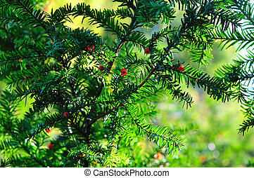 Background of coniferous branches with berries - Background...