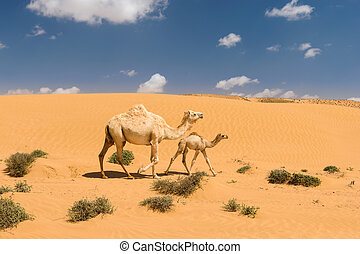 White arabian camel with foal in the desert, Morocco - White...