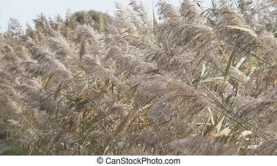 Close up of Pampas Grass (Miscanthus sinensis) in super slow...