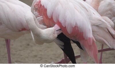 Pink flamingo in super slow motion - Closeup of Pink...