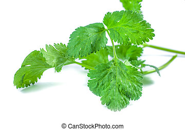 close-up of coriander leaves isolated on white background