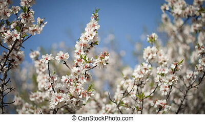 Flowering almond tree against the blue sky