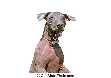 Xoloitzcuintle Mexican Hairless Dog isolated on white