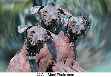 Xoloitzcuintle Mexican Hairless Dog or Xolo