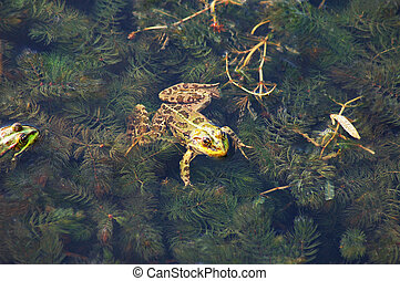 Frog in the pond - Frog floating on algae in the pond