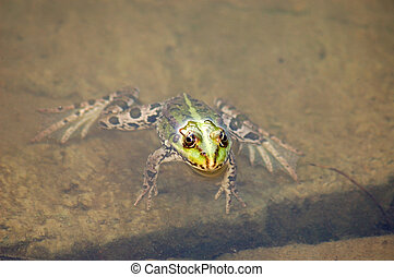 Frog in the pond - Green frog float in the pond water