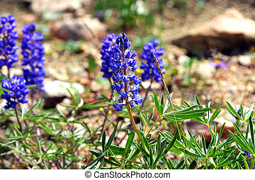 Blooms of Silvery Lupine