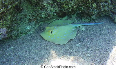 Stingray Underwater on Coral Reefs in the Red Sea, Egypt....