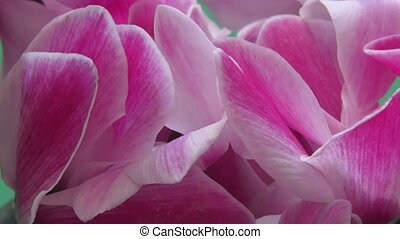 Cyclamen, or Drjakva, or Alpine violet is a genus of plants...