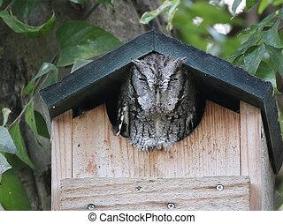 Eastern Screech-Owl - An Eastern Screech-Owl in a birdhouse