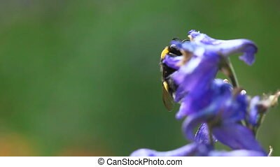 Bumblebee. - Bumblebee on a delphinium flower.