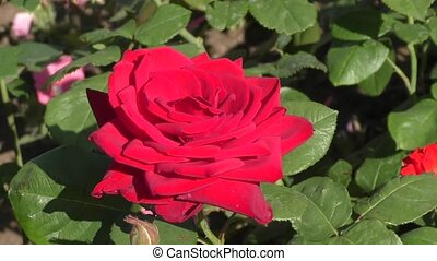 Red rose in summer - Red rose on a summer day