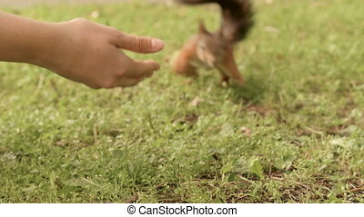 Squirrel eats from the hand.