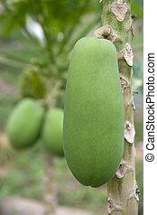 Orchard Papayas - Image of papayas growing in an orchard.