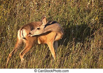 Mule Deer doe licking its rear