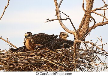 Young hawks in nest