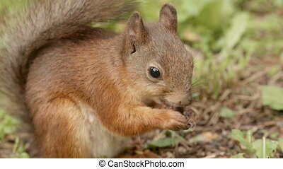 Squirrel eats the nut. Real time footage.