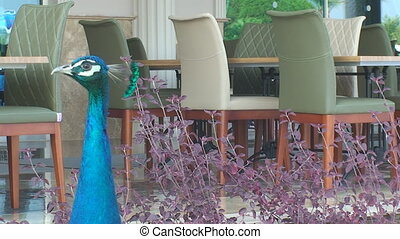 peacock stands near the hotel and looks around - near the...