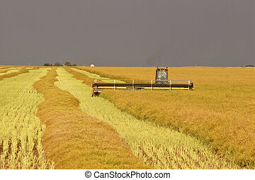 Saskatchewan farmer swathing wheat crop