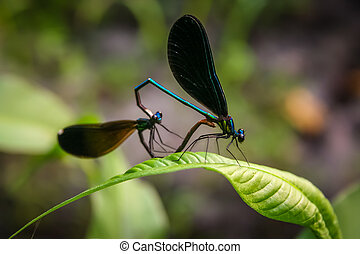 Dragonflies - Two dragonflies mating and forming a heart