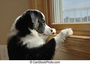 Australian Shepherd Aussie Puppy Watching - Tricolor...