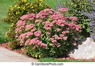 Flowering Sedum Autumn Joy on a Sunny Fall day