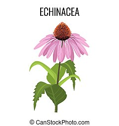 Echinacea ayurvedic herbaceous flowering plant isolated on...