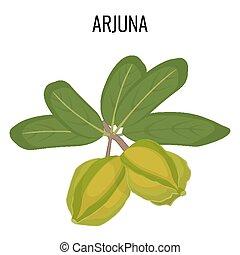 Arjuna ayurvedic medicinal herb isolated. White Marudah...