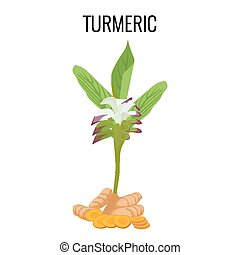 Turmeric ayurvedic herb with rhizomes isolated on white...