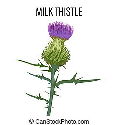 Milk thistle isolated on white background. Blessed...