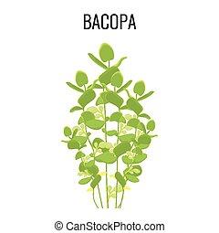 Bacopa ayurvedic aquatic plant isolated on white background....