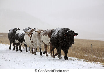 Snow covered cattle walking along Alberta country road