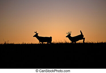 two White-tailed deerbucks running though a field after...